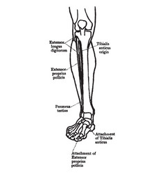 Front view of the muscles of the leg vintage vector