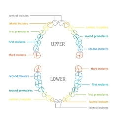 Human Tooth Thin Line Color Anatomy Chart vector image