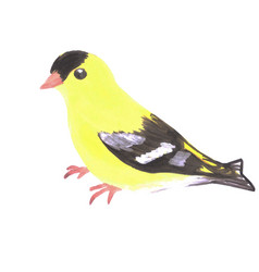 American goldfinch or spinus tristis isolated on vector