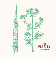 parsley root and stem sign symbol or vector image