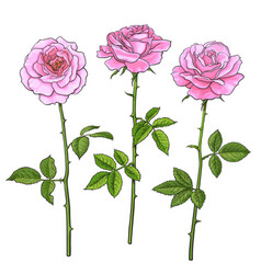 three pink roses with leaves and stems realistic vector image