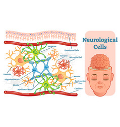 neurological cells diagram vector image