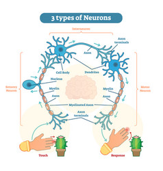 types of neurons - sensory intereuron motor vector image