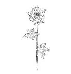 black and white rose flower in engraving style vector image