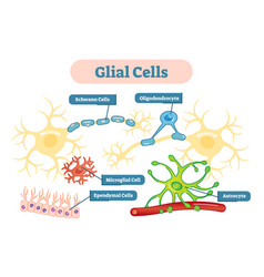 nervous system glial cells schematic diagram vector image
