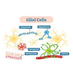 nervous system glial cells schematic diagram vector image