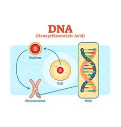 cell - nucleus - chromosome - dna diagram scheme vector image