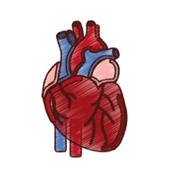 Heart human organ icon vector