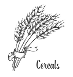 Wheat bread ears cereal crop with ribbon sketch vector