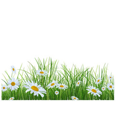 grass with daisies flowers vector image