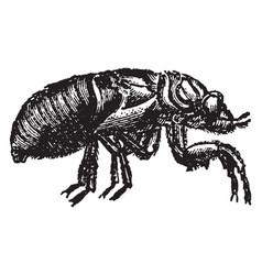 Pupa of the cicada vintage vector