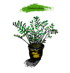 zamioculcas in the pot sketch of tropical plant vector image