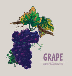 digital detailed color grape hand drawn vector image