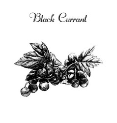 ink hand drawn vintage currant vector image