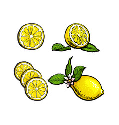 Sketch lemons with leaves flower and slices vector