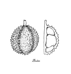 nd drawn of ripe durian on white background vector image vector image