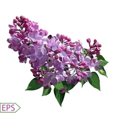 Spring izolate lilac flower for the design vector image vector image