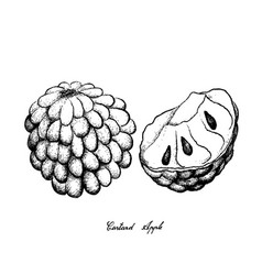 hand drawn of ripe custard apple on white backgrou vector image