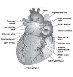Posterior View of the Human Heart vector