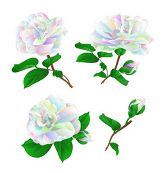 multicolored flower camellia japonica with buds vector image