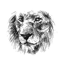 hand sketch detail of a lions head vector image vector image