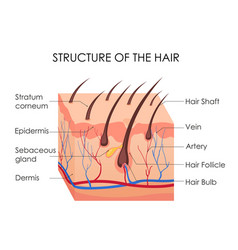Human hair diagram piece vector