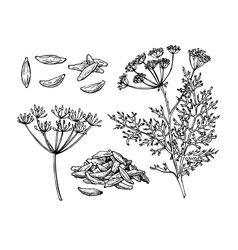 Caraway hand drawn set vector