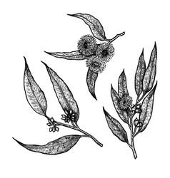 Hand drawn set eucalyptus vintage vector