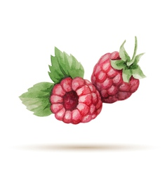 Raspberry hand drawn watercolor vector