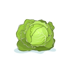 White Cabbage Isolated on White vector