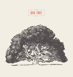 old oak tree hand drawn engraved style vector image