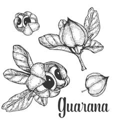 Guarana seed fruit berry energetic diet caffeine vector