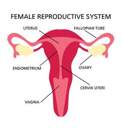 reproductive system female medicine education sche vector image