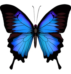 Blue butterfly papilio ulysses mountain swallowtai vector