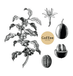 Coffee branchcoffee flowercoffee bean hand vector