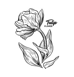 tulip hand drawn ink pen sketch vector image