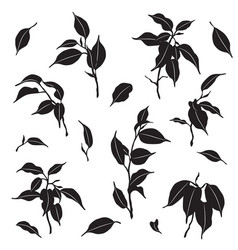 branches and leaves ficus silhouette vector image