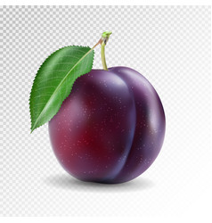 ripe plum with green leaves quality photo vector image vector image