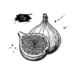 Fig drawing hand drawn fruit and sliced vector
