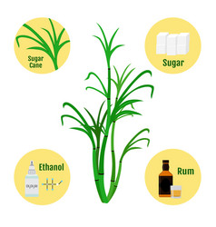 sugar cane and products of caneglass and bottle of vector image