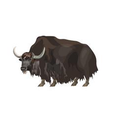 Domestic yak vector