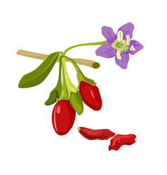 goji plant flower and berry with leafs wolfberry vector image