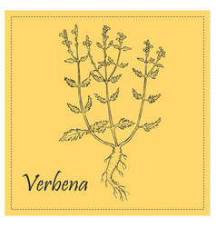 Hand drawn outline of blossoming bush of verbena vector