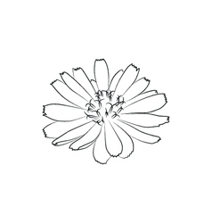beautiful chicory flower simple black lined icon vector image