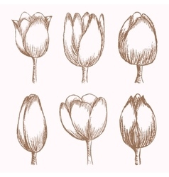 Hand drawn tulips at different stages of growth vector image
