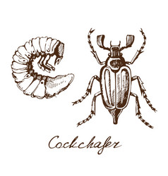 may bug sketch vector image