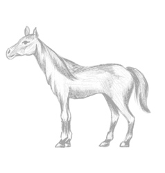 Hand drawn horse pencil drawing of mare vector image