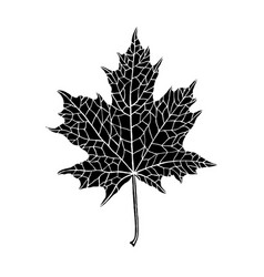 hand-drawn silhouette of a maple leaf vector image