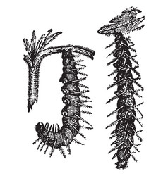 Caterpillars of the small tortoise shell vector