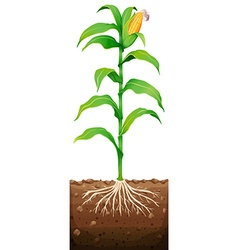 Fresh corn with roots underground vector image vector image